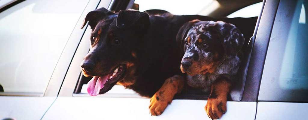 Fotografija prikazuje prevoz psa v avtu.